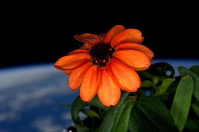 Orange Zinnia, Bunga Pertama Yang Tumbuh di Luar Angkasa