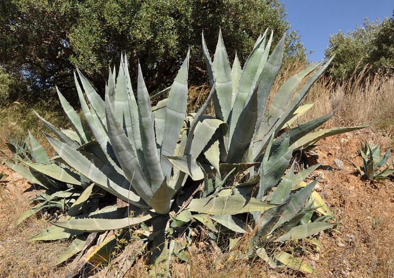 Gambar Tanaman American Aloe - Agave Americana