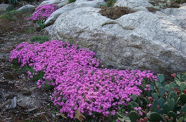 Wild Ground Phlox Pink